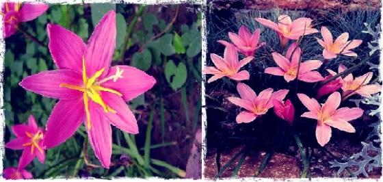 fairy lilies