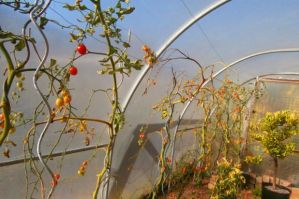 Tomato Greenhouse Rain Shield